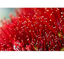 Pohutukawa Flower Photographic Print