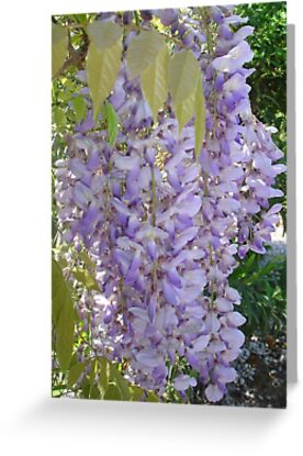 Wisteria Racemes by taiche