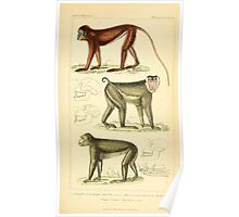 The Animal Kingdom by Georges Cuvier, PA Latreille, and Henry McMurtrie 1834 569 - Mammalia Mammals Poster
