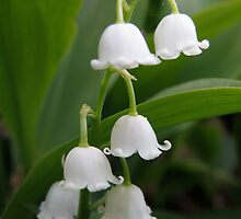 Lilly Of The Valley  by AuntieJ