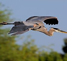 5-16-09 Great Blue Heron by Marvin Collins