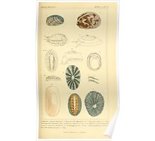 The Animal Kingdom by Georges Cuvier, PA Latreille, and Henry McMurtrie 1834  258 - Mollusca Mollusks Poster