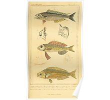 The Animal Kingdom by Georges Cuvier, PA Latreille, and Henry McMurtrie 1834  100 - Pisces Fish Poster