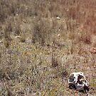 Sheep skull in Australian grassland by pixelspin