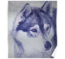 Beautiful husky dog portrait Poster