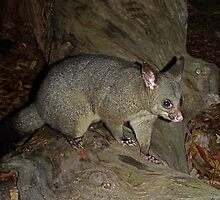 Brush Tailed Possum by Kathy Silcock