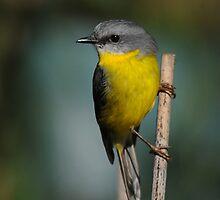 Eastern Yellow Robin by MaureenGoninan