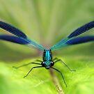 Dragonflies and damselflies by jimmy hoffman