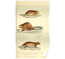 The Animal Kingdom by Georges Cuvier, PA Latreille, and Henry McMurtrie 1834 604 - Mammalia Mammals Poster