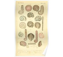 The Animal Kingdom by Georges Cuvier, PA Latreille, and Henry McMurtrie 1834  221 - Mollusca Mollusks Poster