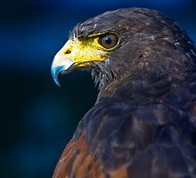 Harris Hawk by Paul Davey