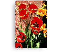 Brite Red And Yellow Tulip In SunLight Canvas Print