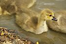 Young Canadian Gosling 6 by davesphotographics