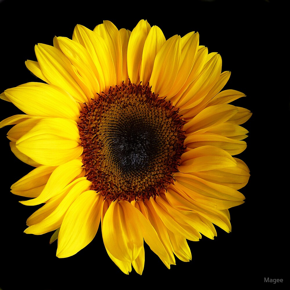 Sunflower....Helianthus annuus by Magee