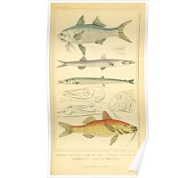 The Animal Kingdom by Georges Cuvier, PA Latreille, and Henry McMurtrie 1834  073 - Pisces Fish Poster