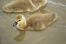 Young Canadian Gosling 7 by davesphotographics