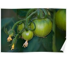 Fresh Green Tomatoes - Still Growing Poster