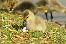 Young Canadian Gosling 9 by davesphotographics