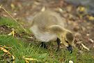 Young Canadian Gosling 10 by davesphotographics