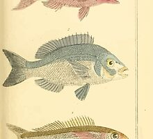 The Animal Kingdom by Georges Cuvier, PA Latreille, and Henry McMurtrie 1834  118 - Pisces Fish by wetdryvac