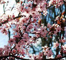 Cherry Blossom Tree by Merryg