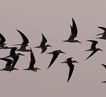 INDIAN SKIMMERS by Marieseyes
