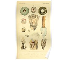 The Animal Kingdom by Georges Cuvier, PA Latreille, and Henry McMurtrie 1834  288 - Mollusca Mollusks Poster