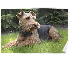 Furry Welsh Terrier Poster