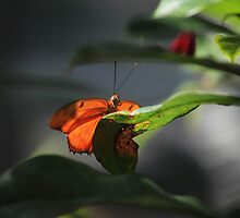 Julia butterfly by kathy s gillentine
