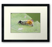 Impressed Dagger Moth Caterpillar  Framed Print