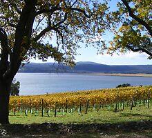 vineyards - Tamar Valley - Tasmania  by gaylene