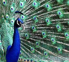 Los Angeles County Arboretum Peacock  by George Paul Miller