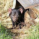 Tasmanian devil . by gaylene