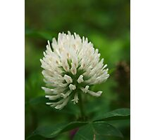 White All Over Clover Photographic Print
