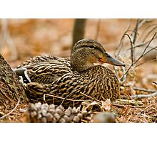 Female Mallard Duck Photographic Print