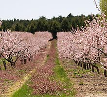 Peach Orchard in Bloom by BarbL