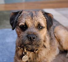 Furry Border Terrier by welovethedogs