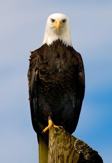 Bald Eagle by Jim Haley