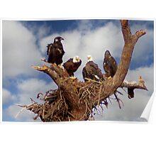 BALD EAGLES FAMILY PORTRAIT Poster