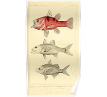 The Animal Kingdom by Georges Cuvier, PA Latreille, and Henry McMurtrie 1834  046 - Pisces Fish Poster