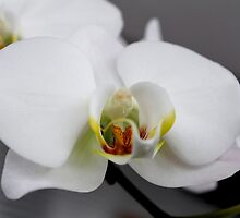 White Orchids by Gilda Axelrod
