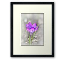 Crocus purple Framed Print