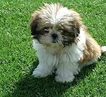Well-trained Shih Tzu by welovethedogs