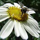 White Daisy with Hover Fly by JuliaWright