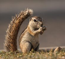 Ground Squirrel by ChrisCoombes