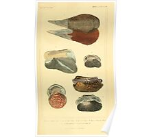 The Animal Kingdom by Georges Cuvier, PA Latreille, and Henry McMurtrie 1834  268 - Mollusca Mollusks Poster