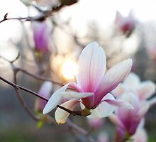 Sunkissed Magnolia by Jennifer Barrett