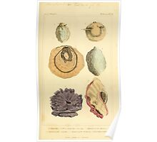 The Animal Kingdom by Georges Cuvier, PA Latreille, and Henry McMurtrie 1834  223 - Mollusca Mollusks Poster