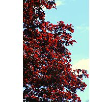 Red Maple in Spring.....Oh, so fresh... Photographic Print