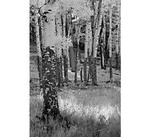 Aspens (infrared) Photographic Print